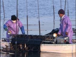 角船海苔摘み取り